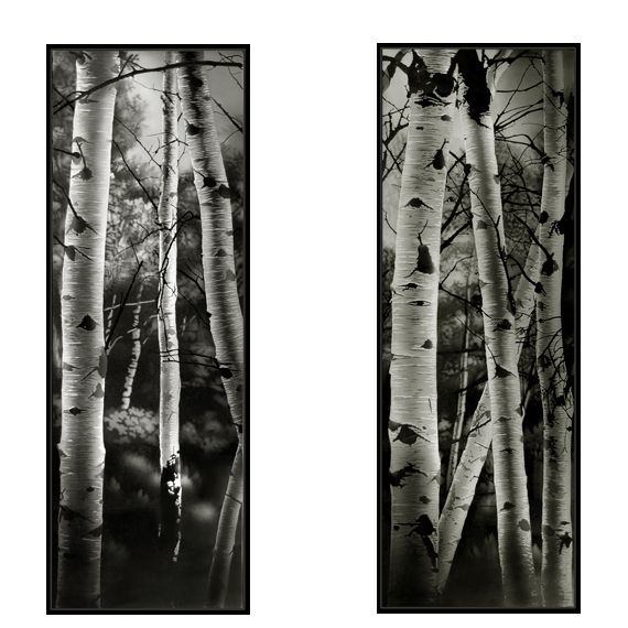 Birch trees 